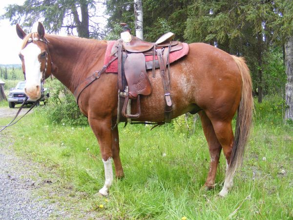 1D/2D Barrel Horse For Sale