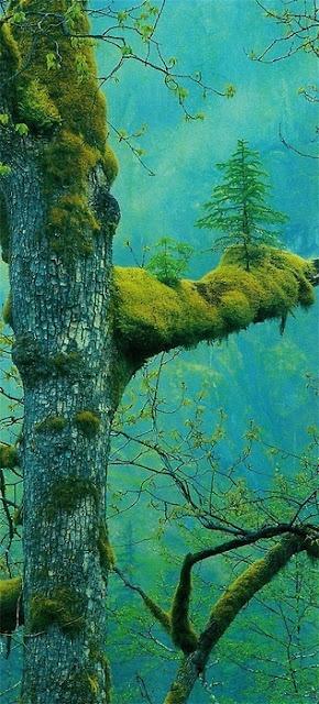 Esta fotografía es un ejemplo de la capacidad de adaptación casi infinita de los seres vivos.    En ella un pequeño abeto crece, en un equilibrio perfecto, sobre una cubierta de musgo en la rama de otro árbol.    Ha sido tomada en Klamath, California (E.E.U.U.).