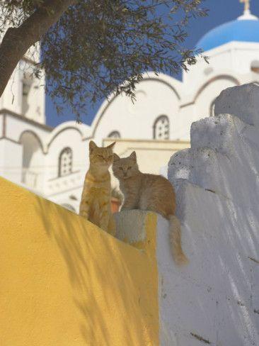 Cats in Akrotiri, Santorini, Cyclades, Greek Islands, Greece, Europe Photographic Print