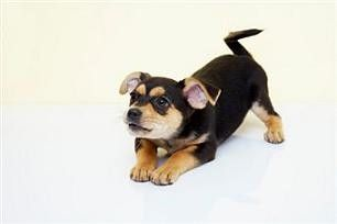 Chihuahua Terrier Mix