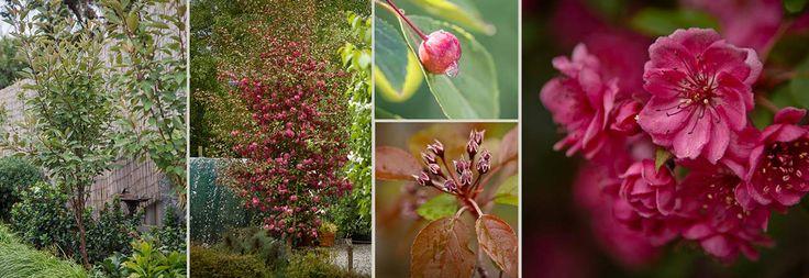wychwood ruby malus tree | Plants Management Australia - Malus 'Wychwood Ruby'