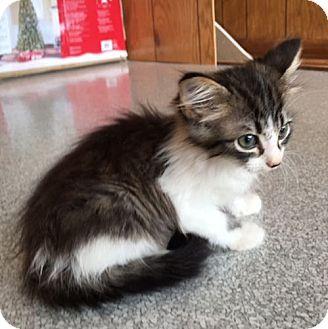 Cherry Hill, NJ - Domestic Longhair. Meet Moxie, a kitten for adoption. http://www.adoptapet.com/pet/16277812-cherry-hill-new-jersey-kitten