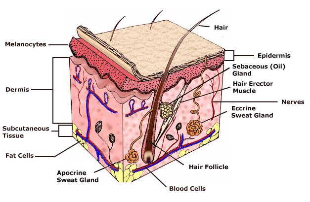 The skin, or integument, is much more than a simple wrapping around our bodies. It is an active and versatile organ which is waterproof so that we do not dry up in the heat or melt in the rain, and it protects us from the damaging radiation of sunlight.