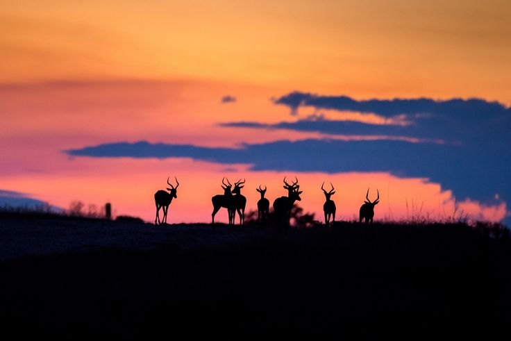 Impala after Sunset - Late yesterday afternoon there was a herd of Impala feeding on a ridge just after sunset. The colours screamed for me to try and take a photograph.