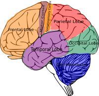 7 Brain Based Learning Principles:  1. The brain needs to make patterns & associations in order for new material to make sense. 2.  Humor decreases stress & increases learning speed. 3.  The working memory can hold 2-4 chunks of info. at a time, usually in about 4-8 minutes.  After that, the brain needs time to process, reflect & review in order for those chunks to move to the long term memory. 4.  Music boosts brain organization & ability.  It affects our moods & emotions.  Music...