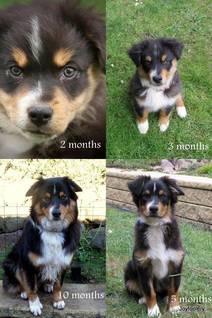 Australian Shepherd Puppy Stages Hunde Fotos Hundefotos Und
