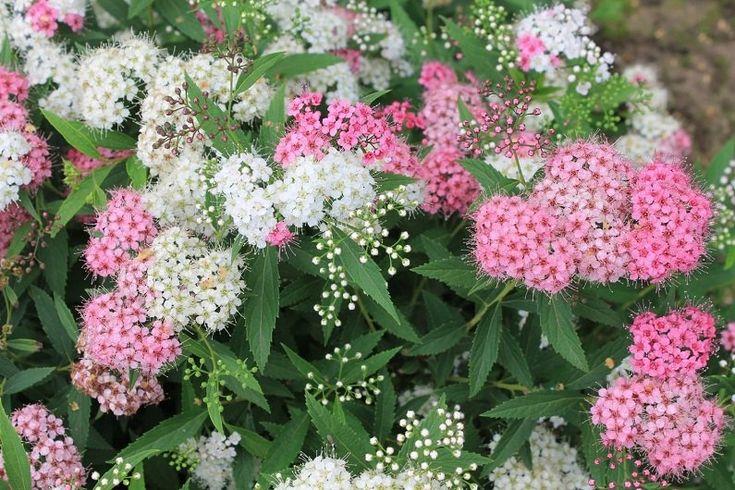 Спирею можно смело отнести к «популярным» растениям, поскольку этот куст встречается практически у каждого дачника в саду. В народе этот цветок называют «невестой», точнее под это описание подходит …
