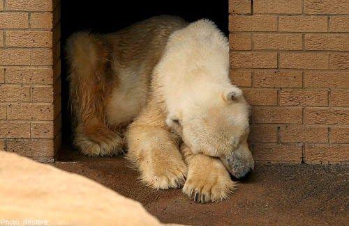 Wang, Seekor Beruang Kutub Meninggal Karena Patah Hati - http://ebo.web.id/wang-seekor-beruang-kutub-meninggal-karena-patah-hati/