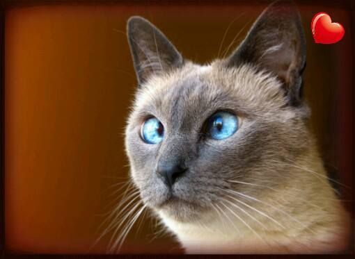 Can Burmese Cats Have Crossed Eyes