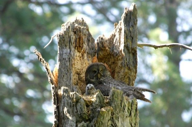 Great Gray Owl nesting threatened by Yosemite wildfire
