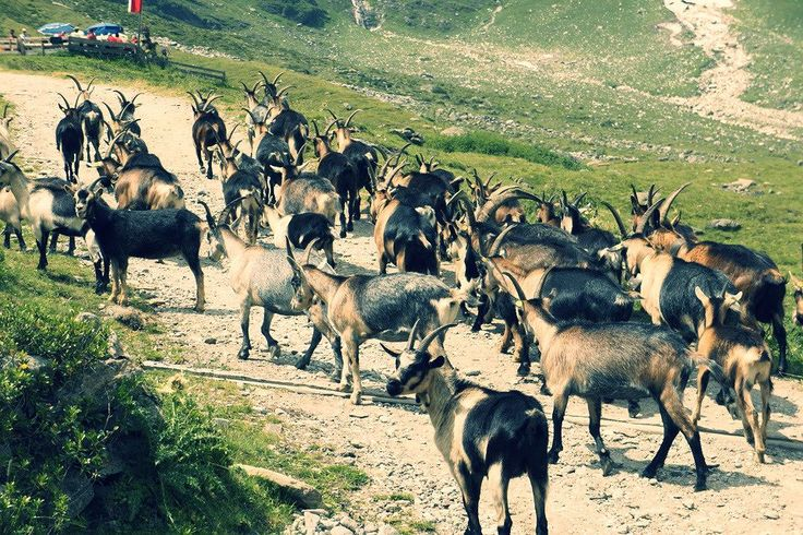 Encountering a herd of goats along the way to an alpine guest house. During the summer they graze in the higher elevations above the tree line. In winter they stay inside the warm cozy barns eating and chewing on hay.  #Goats #Herd #Alpine #Alps #Summer #Wanderlust #Hiking #Lifestyle #Adventure