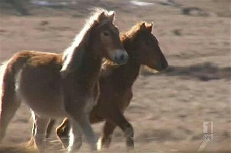 young Coffin Bay Ponies