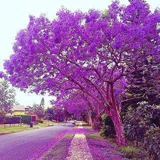 You know it�s spring in Australia when the colour purple starts exploding everywhere. | 15 Pictures Of Jacaranda Trees That Will Make You Weak At The Knees