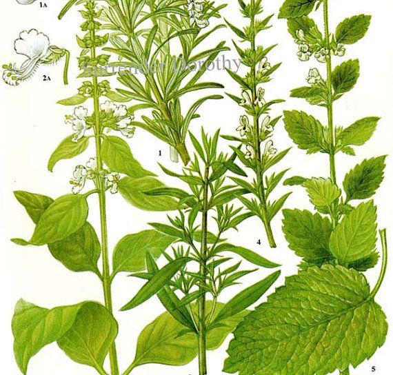 Rosemary Savory Basil Lemon Balm Spice & Herb by SurrenderDorothy