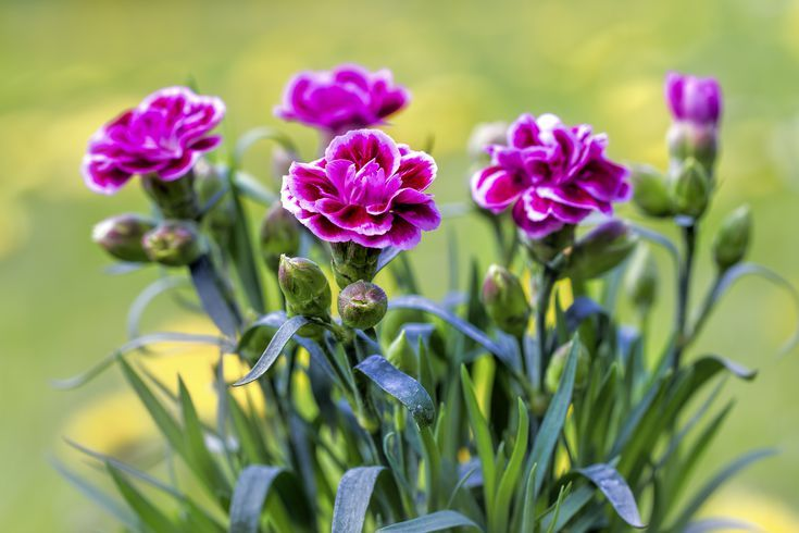 How To Care For Mini Carnations Mini Carnations Carnation Plants Growing Carnations