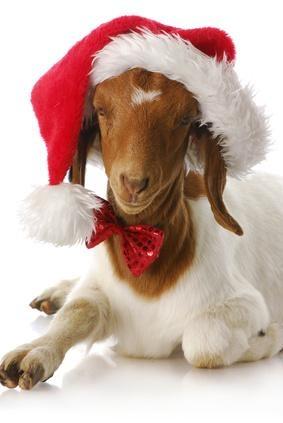 La chèvre vous souhaite une trés bonne année 2013  #goatvet thinks this goat must be very patient