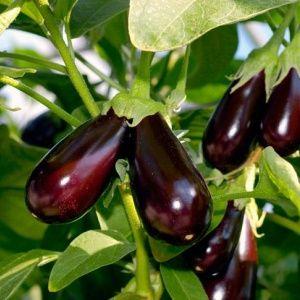 Выращивание баклажанов в…