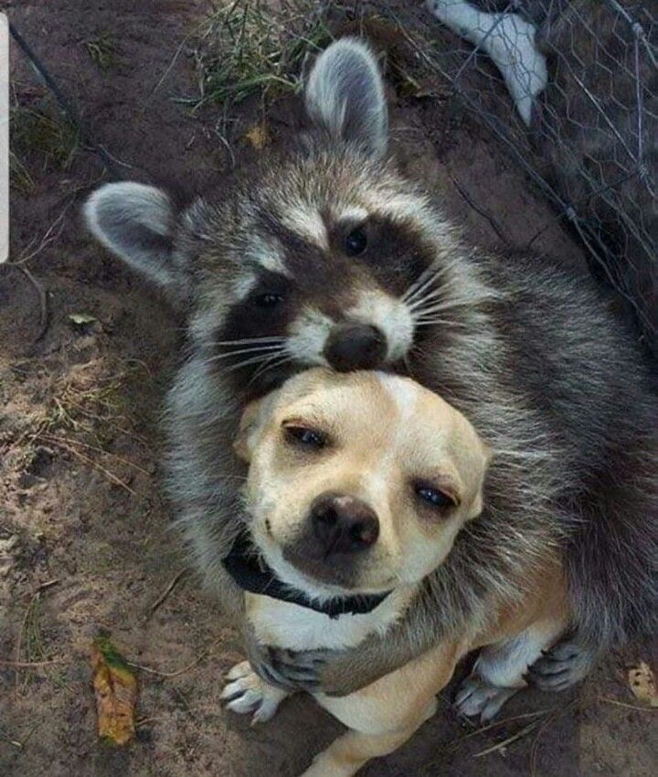 Pin by Unashamed Cringe Queen on Raccoons Cute animals