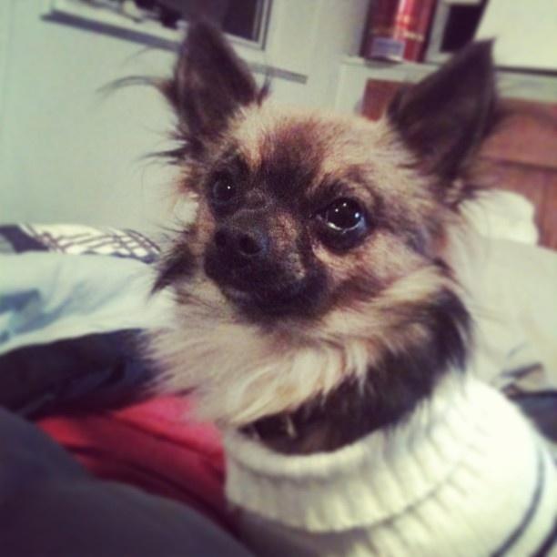Bonzo the Chihuahua #chihuahua