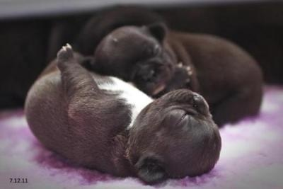 Im not an animal lover but these are stinkin cute......French bulldog puppies.