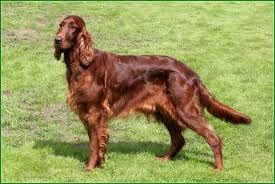 Irský setr- Všude na světě - mezi psovité šelmy patří všichni psi