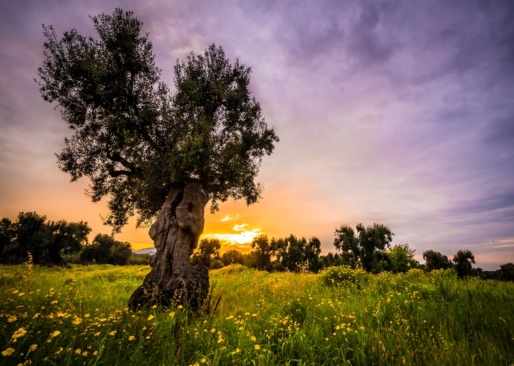 An old capture re-visited - Southern Italy Olive Tree - Photo by Adam Allegro