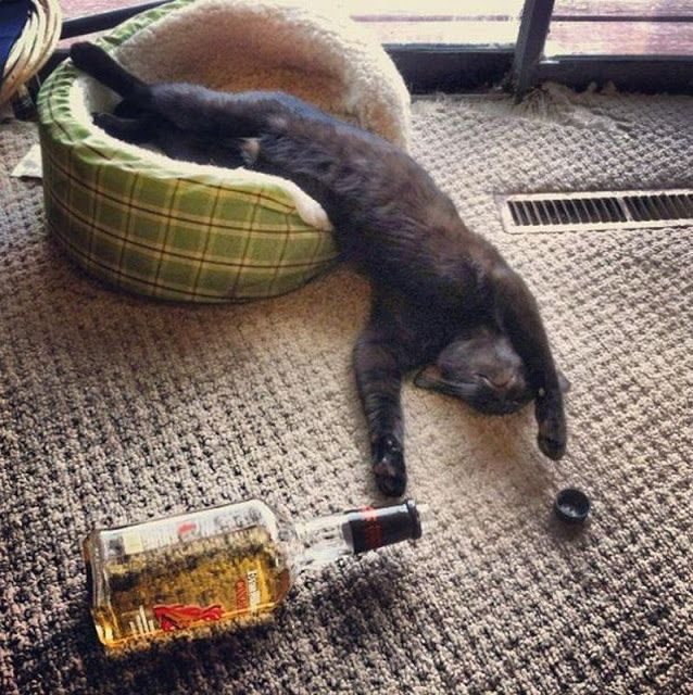 Drunk Cat, had one too many! | cats | Pinterest | Cats ...