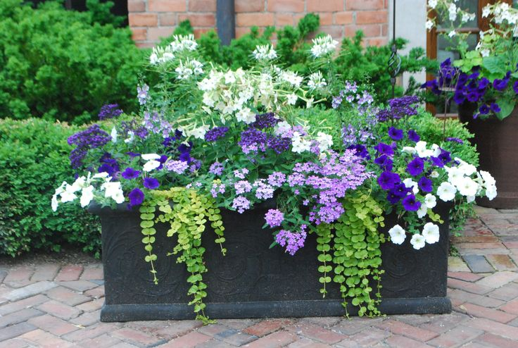 Petunias: white, lavender, deep purple. White nicotiana, blue campenula (?), deep purple heliotrope. Plant choice could be used to create an annual border. Placing container plants against an evergreen hedge makes it look very lush.