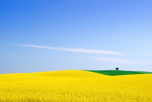 Mustard fields in Denmark.  This is honestly what they look like!