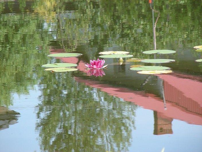 Pierwszy kwiat lilii