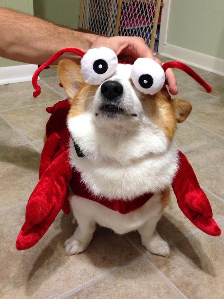 Best 25 lobster costume ideas on pinterest crab costume for Tap tap fish corgi