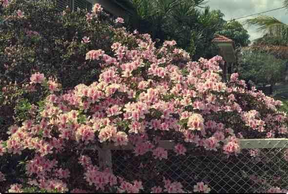 Azalea indica 'Exquisite'