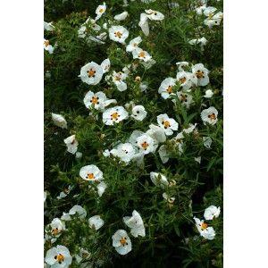 Cistus x purpureus 'Alan Fradd' - Ciste - arbuste persistant, vente en ligne