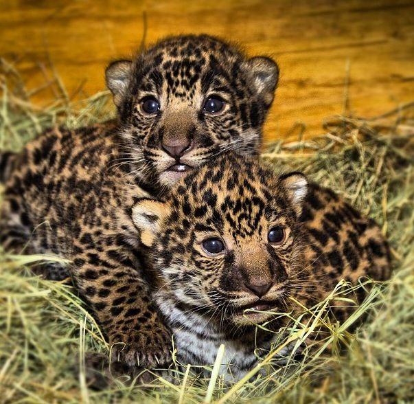 jaguars animals cubs - photo #8