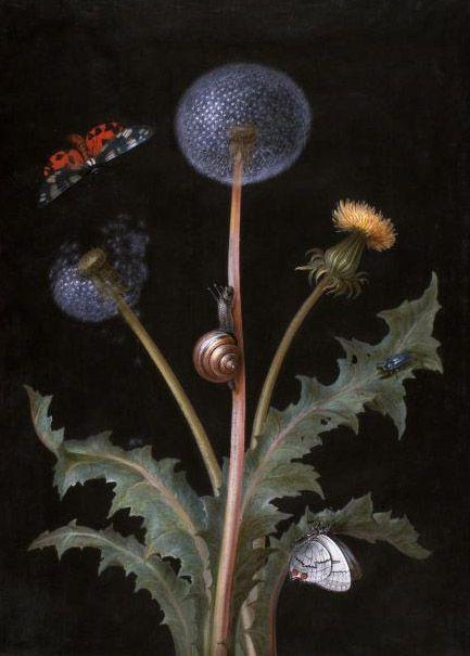 Dandelion ~ Margaretha Barbara Dietzsch (1716-1795)