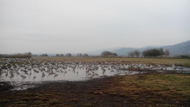 11 января в России отмечают День особо охраняемых природных территорий. На видео журавли на озере Хула, в Израиле....