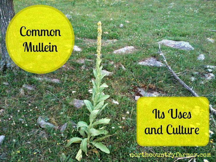 Common Mullein,  It's Uses & Culture
