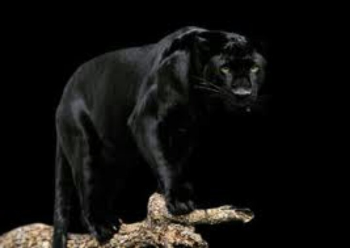 144 best images about Black Panthers on Pinterest   Africa, Black ...
