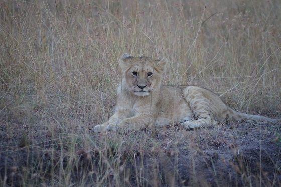 Lion cub, Masai Mara, budget safari Kenya