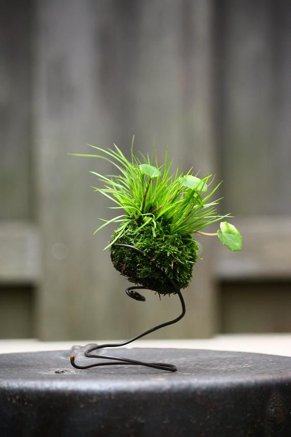 Japanese moss ball with grass and what looks like some tiny galax leaves. Très interessante!!!