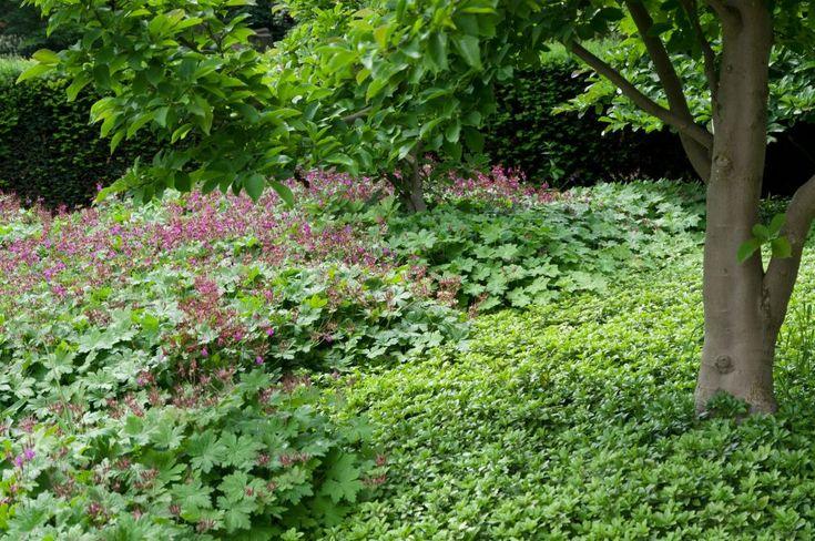 best 25 geranium macrorrhizum ideas on pinterest geranium color plants for shady areas and. Black Bedroom Furniture Sets. Home Design Ideas