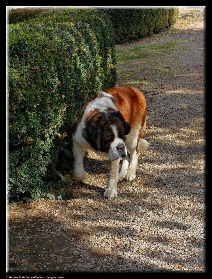St. Bernard dog by Giancarlo Gallo
