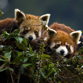 http://www.wwf.de/themen-projekte/artenlexikon/roter-panda-kleiner-panda/