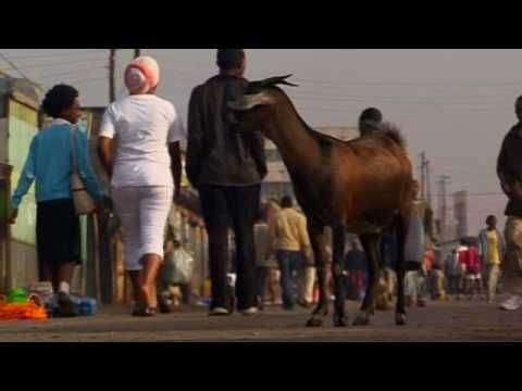 Conserving Livestock Genetic Resources for People (summary) (Length: 3:08) People and domesticated animals have relied on each other for thousands of years. But modern life is wiping out ancient breeds. New approaches are needed to ensure the survival of these vital animal genetic resources. (Summary)