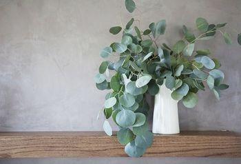 「シルバーダラー」銀丸葉ユーカリとして知られているもっとも一般的な種類。