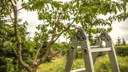 Kirschbäume richtig schneiden