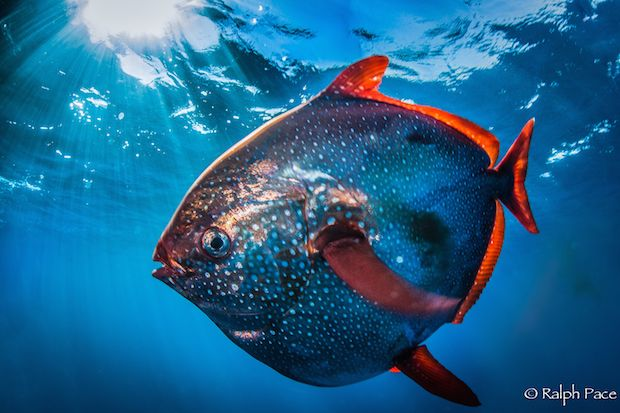 """The opah, or moonfish, is actually quite fast, and can run with the big boys like tuna and swordfish. That's just one of many surprising revelations coming to light as more of these mysterious fish appear unexpectedly in scientific surveys along the southern California coast.   Photographer captures stunning opah images.  Ralph Pace dives in with camera after rare catch (and release) off SoCal."""