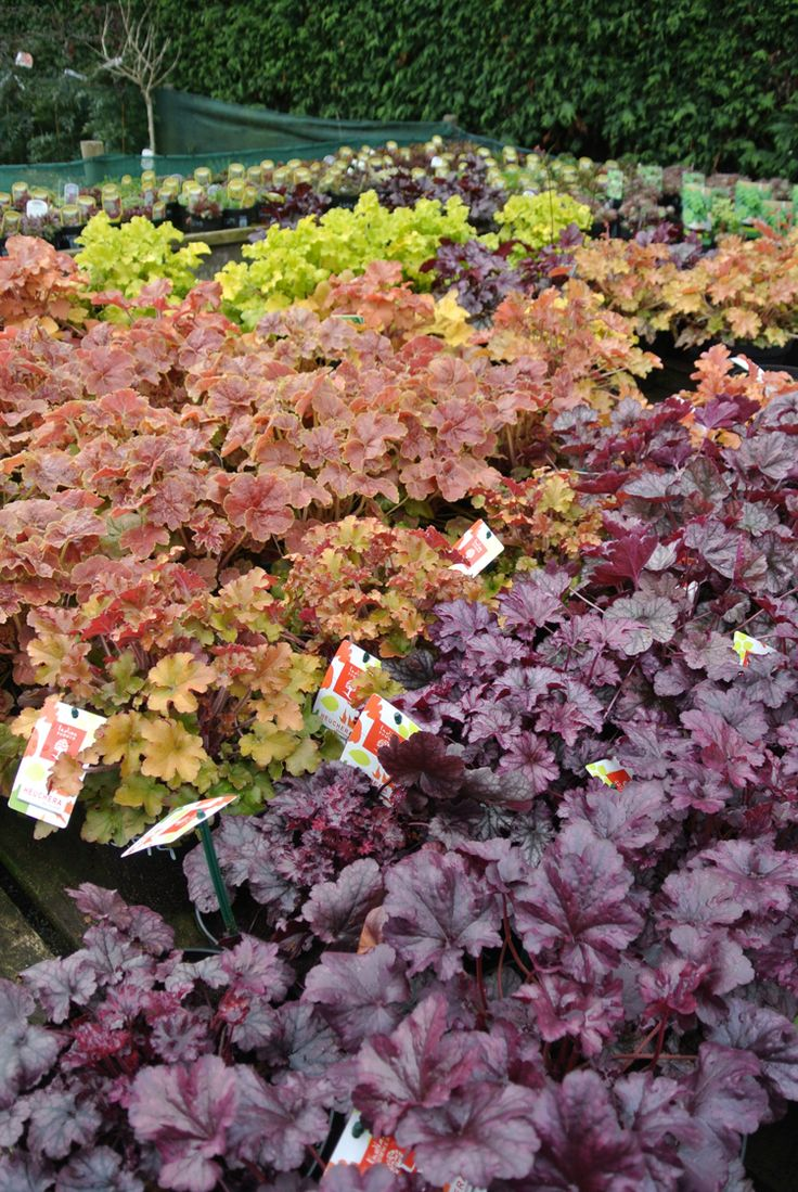 Oh, we love Heucheras, and here are just some freshly delivered and ready to be shopped...  (While we keep a fantastic range of plants in stock 12 months of the year, we would advice giving us a ring if you are looking for a specific plant, call us now on 01924 276446)