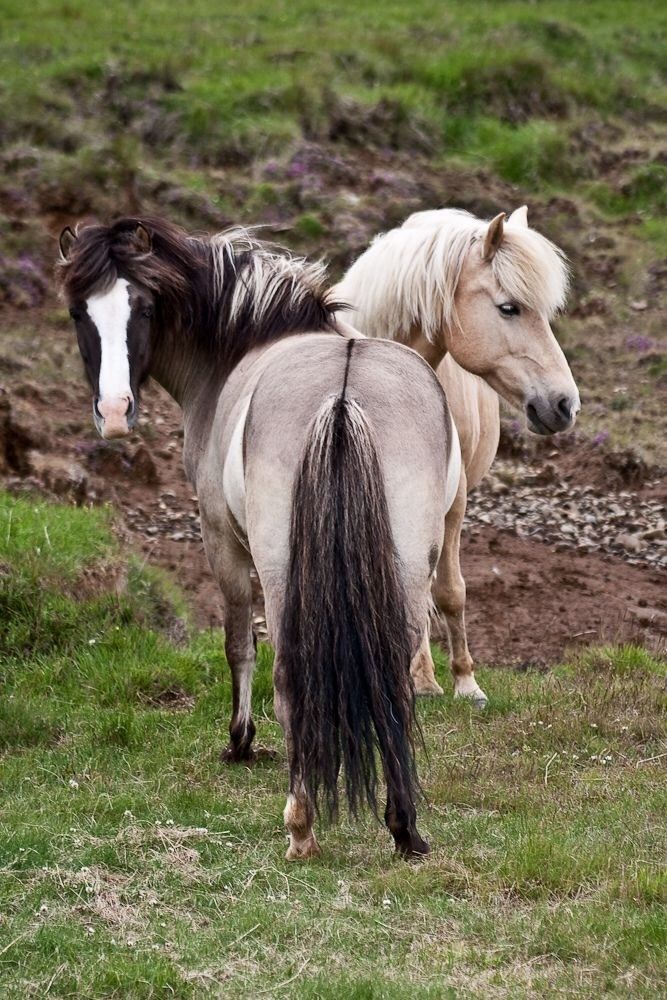 'Two heads are better than one' - Icelandic horses | via flickr - photo sharing!