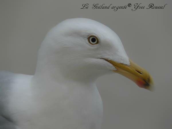 Herring Gull © Yves Roussel